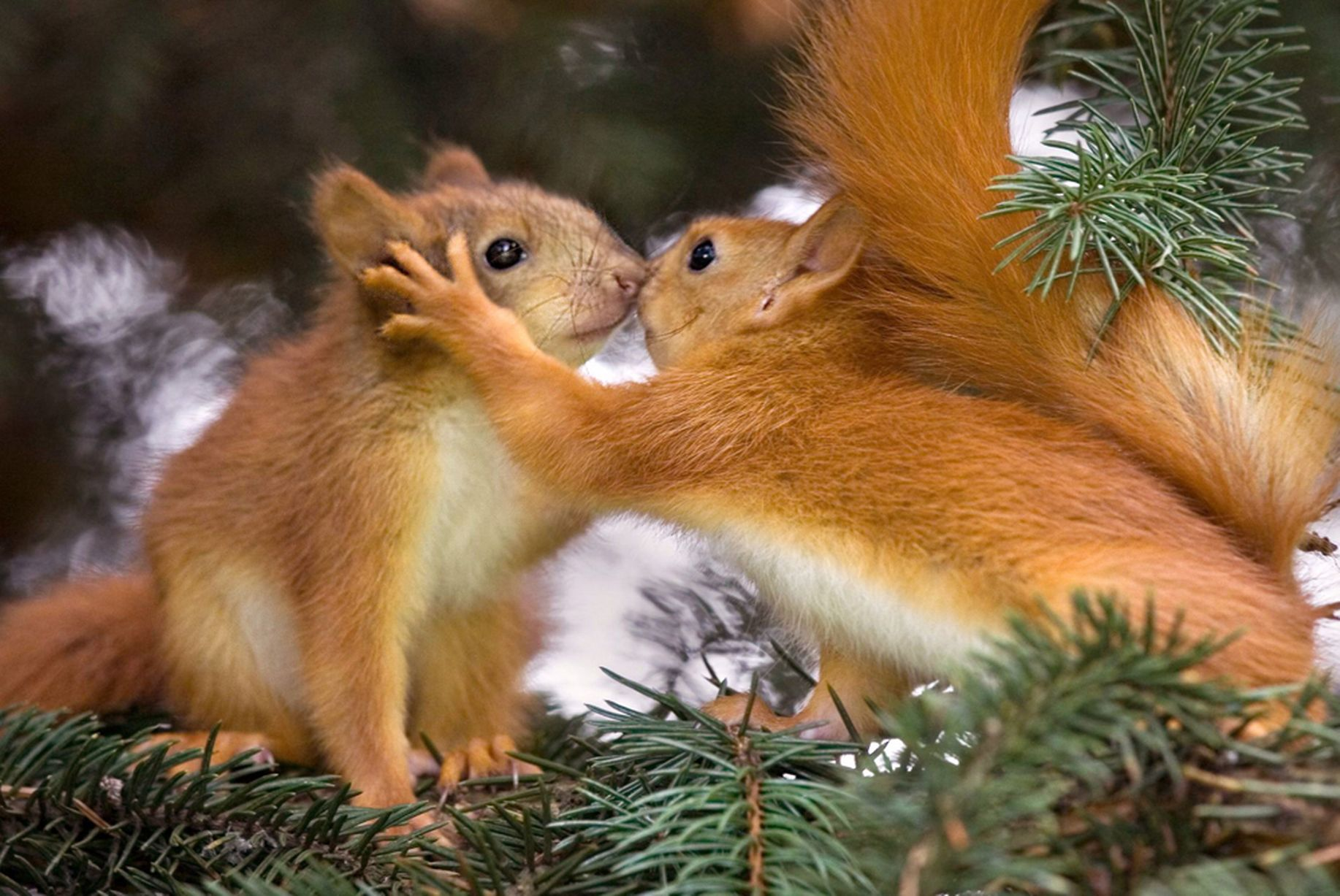 Pair-of-baby-red-squirrels-appear-to-share-a-kiss