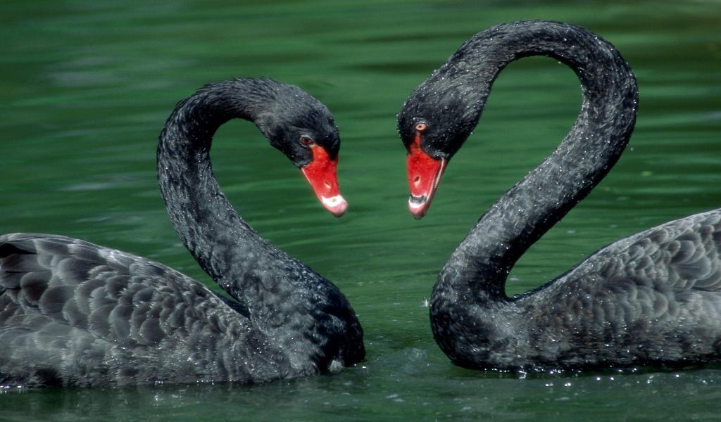 black-swan-animal-couple-facebook-timeline-cover,1024x600,65752