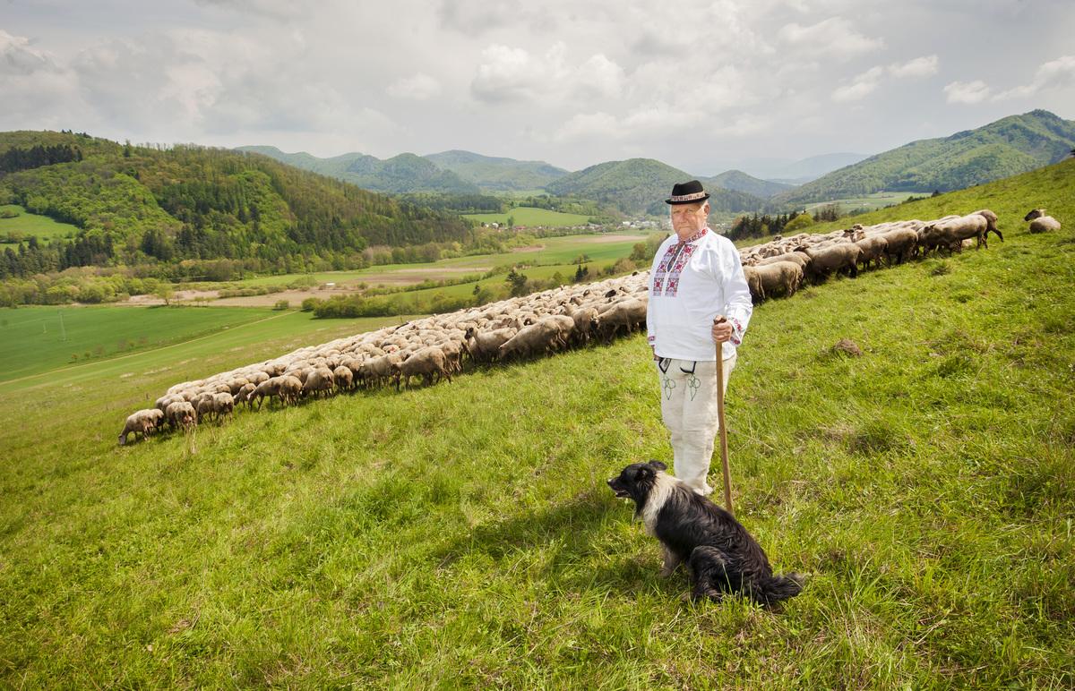Slovenskú bryndzu už musíme vyrábať aj z dovážaného mlieka - naše ovčiarstvo je na zániku. (Foto: archív)